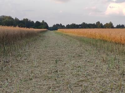 Rada kulgeb läbi viljapõllu.